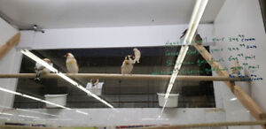 2 paire of rare  finches saberian gold finch and white headed