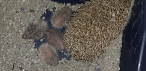 Hoglets! Only two left!