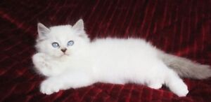 Beautiful Ragdoll kittens are available for adoption