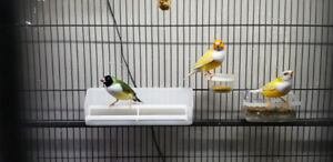 Gouldian Finch, Red-Cheeked Cordon Bleu, Gold-breasts Finch..