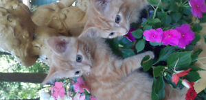 Orange Tabby kittens bonded pair male and female