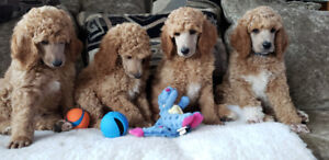 Beautiful CKC Registered Standard Poodle Puppies