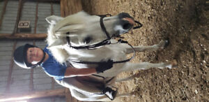 Small show pony for lease.