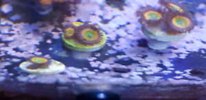 Saltwater Sunny ds zoa frags for sale $30