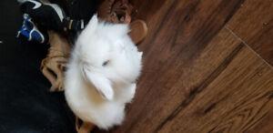 Free 2yr old female Angora Rabbit