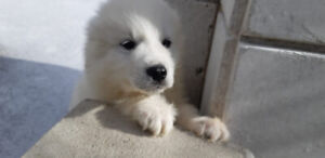 PEEK A BOO!! Gorgeous Great Pyrenees Puppies