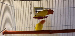 FISCHER PROVEN BREEDING PAIR STARTED TO LAYING EGGS
