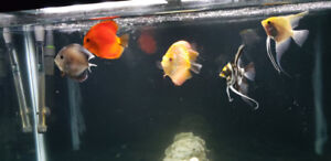 Discus and Angel fish