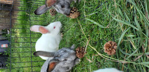LOOKING FOR:  Male new Zealand rabbit at least 4 months old