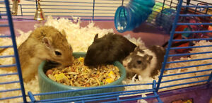 Three gerbils looking for a good home!