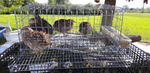 Cages and quail chicks for sale