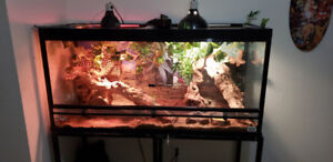 Selling bearded dragon with full kit
