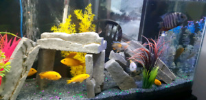 Electric Yellow Ciclids for Sale