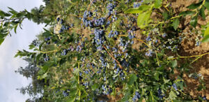 Arbor Blueberry Farm Now Selling Good Healthy Blueberry Plants