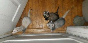 Ferret Trio - $300 or $600 with cage