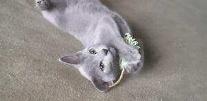 Russian Blue kitten ( with Pedigree) Hypoallergenic!!!