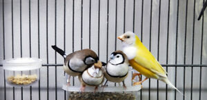 Owl finch (s) For Sale - Can be with Canary