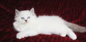 Beautiful Ragdoll Kitten for Good Homes