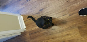 Free 1 yr old Male all black cat