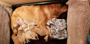 ADORABLE ❤PUREBRED❤ GOLDEN RETRIEVERPUPPIES❤ in VICTORIA