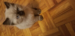 4 seal point Himalayan kittens for sale