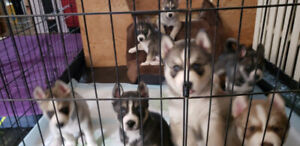 Siberian Husky Easter Puppies - 8 weeks old ready to go