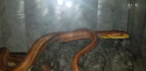 Striped female rat snake with 10gal tank setup
