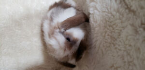 (One left) Holland Lop babies