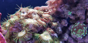 Obo Live rock with coral for reef saltwater aquarium
