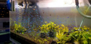 M&J Aquarium  Cardinal tetra FOR SALE