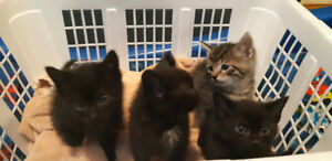 4 male.kittens 8 weeks old ready to go .