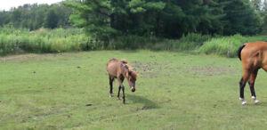 Shetland Pony Colt