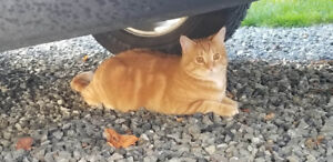 Two 13-month old male orange tabbies FREE to good home