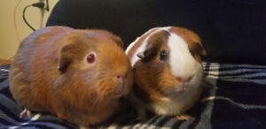 2 female guinea pigs free to a good home!