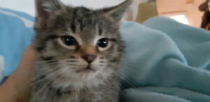 FREE KITTENS  PART RUFFEL MANX PART BOBCAT WITH TAILS