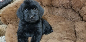 chiots   LABRADOODLE
