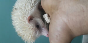 Pinto female hedgehog 5month old