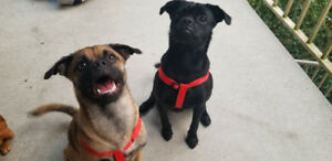 2 male pug chihuahua brothers 1 year old