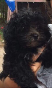 Looking for a shih poo