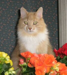 LOST: Orange long-haired cat