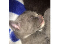 Gorgeous grey and white male kitten for sale