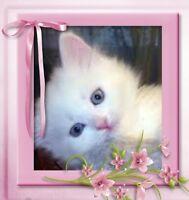 chaton persan croisé sphynx ( vacciné vermifugé )