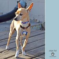 """Adult Male Dog - Chihuahua: """"Ted"""""""