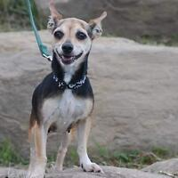 "Adult Female Dog - Chihuahua: ""Tabitha (Taby)"""