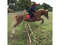 14.3hh Welsh D mare for part loan
