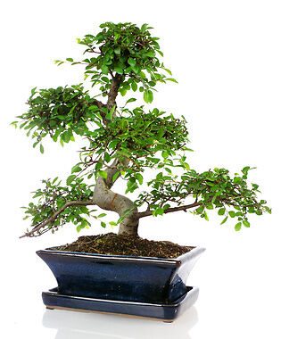 bonsai ficus tropische feige in miniaturformat ebay. Black Bedroom Furniture Sets. Home Design Ideas