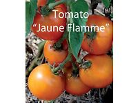 """Tomato Plants """"Jaune Flamme"""" in 9 cm Pots £1.00 each Hardened off ready to Plant Out"""