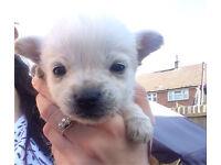 Westie x pomeranian puppies