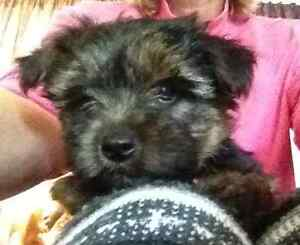 Yorkie Puppies ~1 boy and 1 girl left