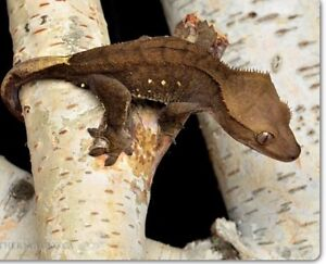 High end male crested gecko